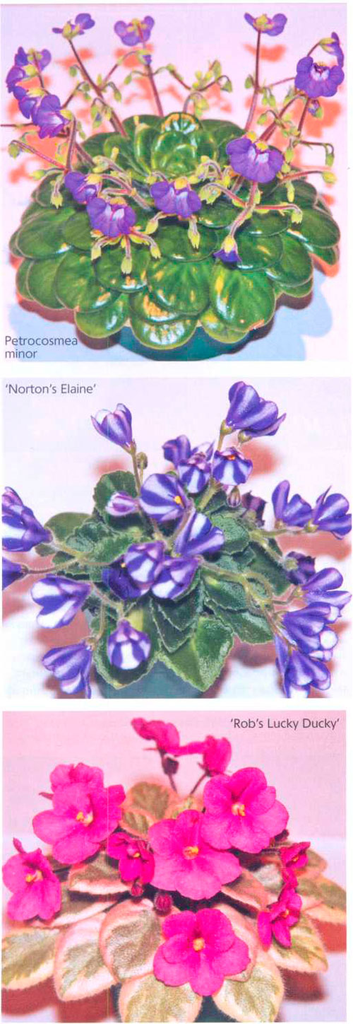 Petrocosmea minor / 'Norton's Elaine' / 'Rob's Lucky Ducky'